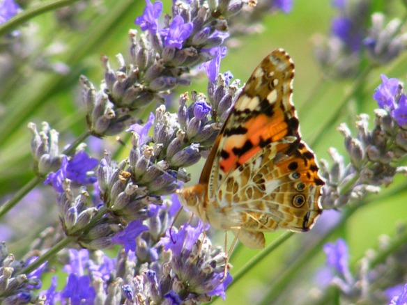 lavender painted lady